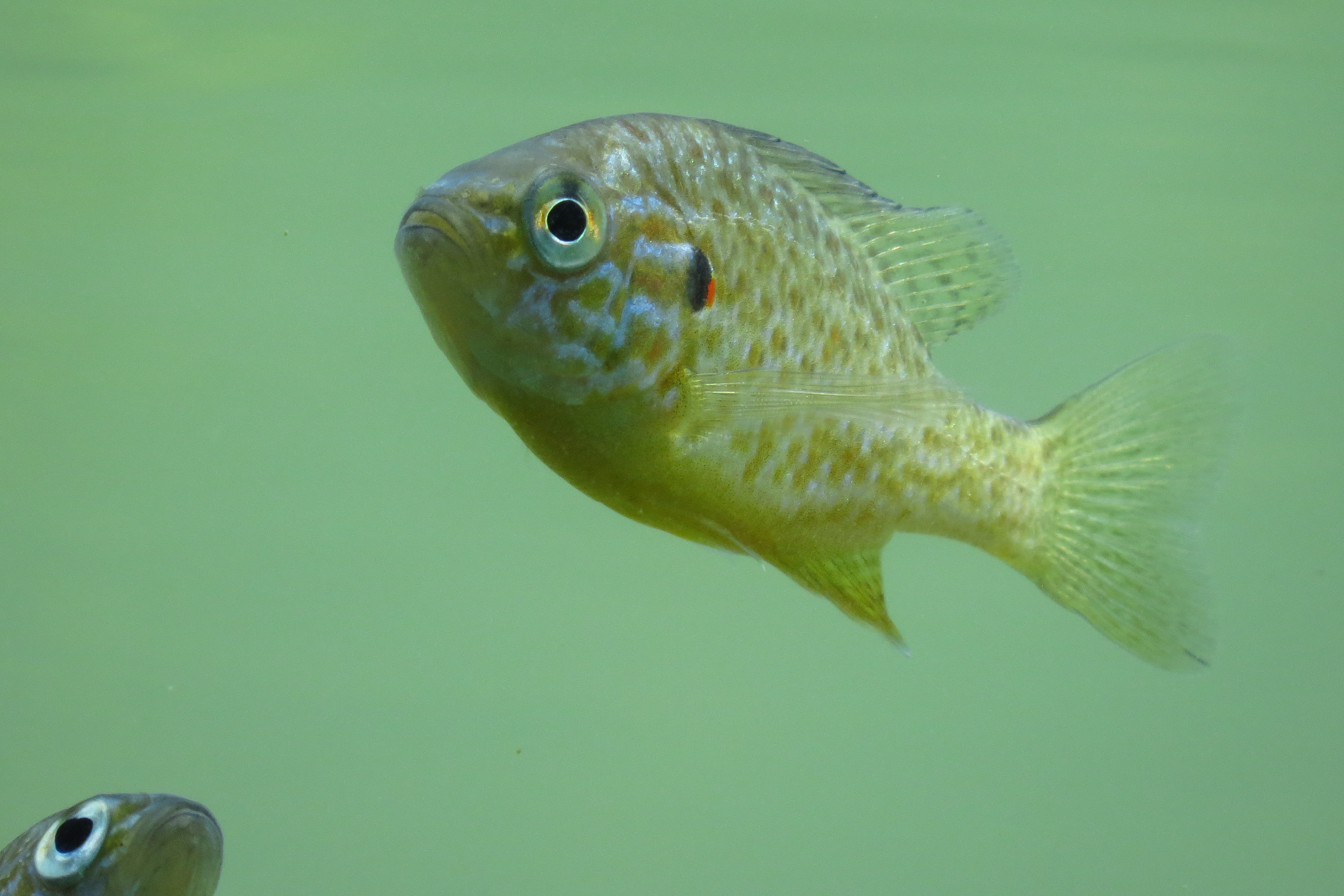 Albert Kolar-Molči kot riba